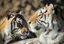 Animali positivi al coronavirus: il primo caso negli Usa è una tigre dello zoo del Bronx