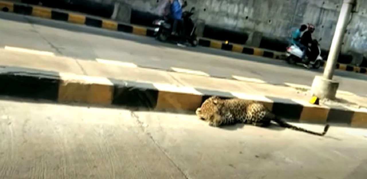 Leopardo attraversa la strada: traffico in tilt in India - VIDEO