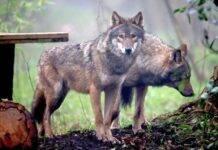 Investe e uccide un lupo: Automobilista insultato e minacciato sui social